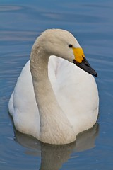 Bewick's Swan (paulgmccabe) Tags: bird london nature swan wildlife reserve waterbird wetlands barnes protected bewick londonwetlandcentre bewicks wetlandcentre