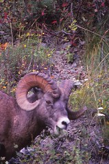 IMG_0011 (Rock Rabbit Photo) Tags: scans sheep horns bighorn rams slides