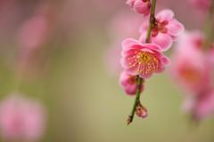 DSC_1408  (m3411) Tags: pink flowers spring   105mm d600 umeblossoms originalphotography