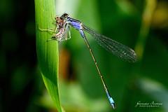 Dragonfly (BFAsuper) Tags: macro nature animal animals insect nikon dragonfly natura tamron 90mm vc f28 animali animale usd insetto libellule insetti d7100 libelllula