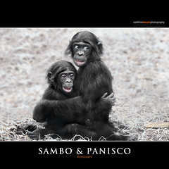 SAMBO & PANISCO (Matthias Besant) Tags: smile look smiling animal animals mammal monkey tiere eyes hessen looking brothers brother ape monkeys augen mammals apes fell blick bonobo tier affen bruder affe umarmen brüder sambo primat schauen pygmychimpanzee hominidae blicken primaten saeugetier saeugetiere menschenaffen hominoidea trockennasenaffe zwergschimpanse menschenartige panisco affenfell menschenartig