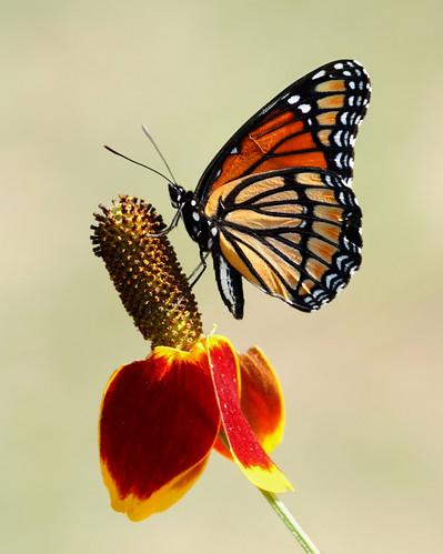 texas butterflies wildflower grapevine viceroy mexicanhat limenitisarchippus ratibidacolumnifera horseshoetrailspark