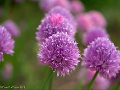 Chives Talking (David S Wilson) Tags: uk flowers england flower fens lightroom flowersplants 2013 davidswilson panasonicdmcg3 adobelightroom4 leicadgmacroelmarit12845asphlens