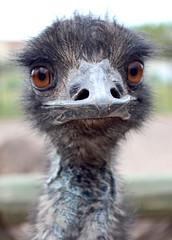What big eyes you've got Mr Emu! (grannie annie taggs) Tags: macro nature animals closeup zoo emu 100commentgroup mygearandme mygearandmepremium mygearandmebronze blinkagain bestofblinkwinners