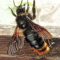 bourdon obstine (domiloui) Tags: macro nature animaux campagne insecte bourdon documentaire cooliris abaucourt blinkagain