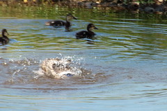 A Cooling Dip (Ian R. Simpson) Tags: water female canal duck mother ducklings mallard splashing lancastercanal
