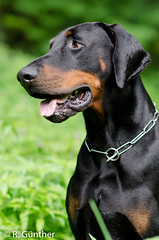 Doberman (I AM ....) Tags: dog nikon hund doberman dobermann