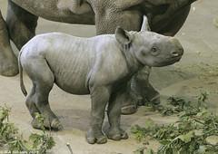 Black rhino calf 'Embu' (gentle lemur) Tags: blackrhino chesterzoo dicerosbicornismichaeli
