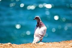 On edge... (laufar1) Tags: bird canon pigeon onedge