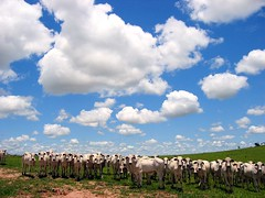Multiplication (joaobambu) Tags: brazil sky cloud topf25 field animals topv111 brasil topv2222 clouds rural wow print countryside cow interestingness interesting topf50 topv555 topv333 topf75 cattle cows topv1111 topc50 stock topv999 2006 cu topv5555 pasto pasture nuvens campo getty topv777 creatures topv9999 topv11111 topf125 topf150 topv3333 topv4444 topf100 ceu topf200 nuven topv8888 topv6666 topv7777 boiada topf175 nelore interestingness28 topf135 imagekind