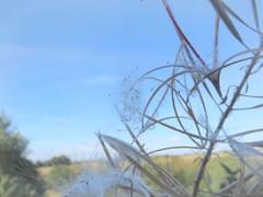 Blue love (Landanna) Tags: blue grass blauw gras bl