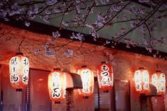 Lantern-lit Blossoms (Jake in Japan) Tags: japan kyoto sony    sakura cherryblossoms apsc nex7 e50mmf18oss gettyimagesjapan13q4 gettyimagesjapan13q3