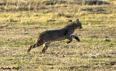 Rare Bobcat Pics at Petaluma-Marshall Road (Dunby PICS) Tags: california road ranch county creek cat sonoma salmon marshall walker valley petaluma bobcat chileno specanimal