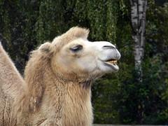 Camel Hollywood safari park Germany 22nd September 2013 22-09-2013 08-39-07 (Ian Dennis) Tags: park germany september safari camel hollywood 22nd 2013 083907 22092013