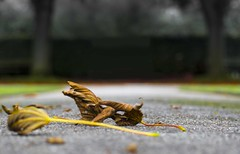 Lonely leaves (chrispenfold) Tags: park autumn orange leaves gardens leaf sthelens sherdley sherdleypark