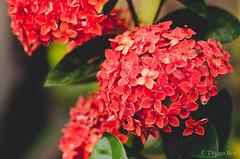 Flores do Jardim de Casa (thcreis) Tags: flower 50mm nikon flor jardim ms miranda