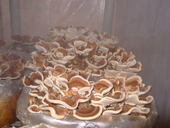 turkey tails in the mist (Wendell Smith) Tags: turkeytail trametesversicolor mushroomcultivation coriolusversicolor yunzhi polyporusversicolor