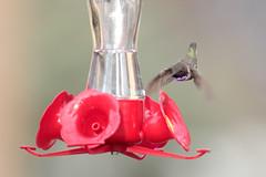 Black-chinned Hummingbird (Geoff Malosh) Tags: male hummingbird unitedstates adult pennsylvania flight shadygrove blackchinned banded blackchinnedhummingbird