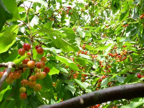 Ernsts Hus - cherry trees/körsbärsträd