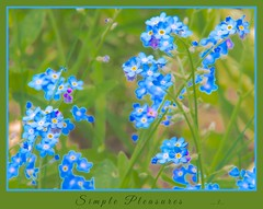 Simple Pleasures......#3   Forget-Me-Nots (imageClear) Tags: flowers blue green nature floral garden parents flora nikon flickr natural michigan framed border photostream babyblue naturephotography simplepleasures 18200mm nikon18200mm floralphotography imageclear simplepleasures3forgetmenots