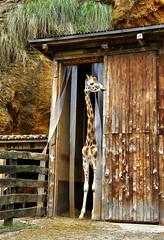 Parece que llueve (Tere Duro) Tags: wild animal giraffe wildanimals jirafa salvaje tereduro animalsalvaje