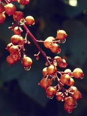 Seeds (jgimbitzki) Tags: nature water gua photo drops foto natureza seeds gotas sementes