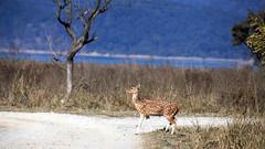 Spotted Deer (Partha) Tags: life park wild canon wildlife jim national jungle uttaranchal himalaya corbett uttarakhand dhikala jimcorbettnationalpark kmvn