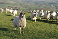 Dorset spring (dawn.v) Tags: uk england animals march countryside spring nikon sheep flock dorset farmanimals flockofsheep greenfields 50mmlens westcompton vision:mountain=0723 vision:outdoor=0969 vision:plant=0556