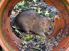 a rat inside (natureburbs) Tags: rat seeds woodrat backyardwildlife newjerseywildlife