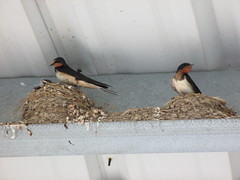 Barn Swallow (Lady Muir) Tags: park red chimney baby white black bird birds barn mom grey babies mckay nest feeding small gray mother parks ceiling mo parent missouri messy swift jefferson mackay feed swallow barnswallow nesting jeffersoncity binder binderpark 65108 65109