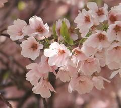 Cherry blossoms (Princess Ruto) Tags: pink flower tree cherryblossom sakura