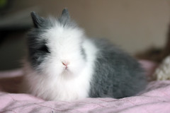 Millie (Yoshiii11) Tags: baby bunny sweet fluffy