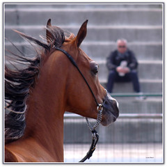 Arabian Horses Cup Show Internazionale Trapani    2014 (Schano) Tags: italy italia sicily cavallo sicilia trapani cavalloarabo fz28 panasonicdmcfz28 lumixfz28 panasoniclumixfz28 arabianhorsescupshowinternazionaletrapani2014