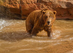 Brown Bear wading (hehirt) Tags: animals wildlife moab