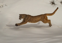 Mountain Lion running in snow (hehirt) Tags: winter snow animals wildlife moab