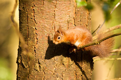 European Red Squirrel (jon lees - busy) Tags: park uk ireland red cute forest mammal squirrel group service form areas northern pest vulgaris countydown preferred tollymore sciurus jonlees endangere