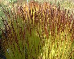 Deschampsia flexuosa 'Tatra Gold'