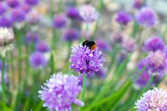 Bumblebee & onion flowers (andrey.senov) Tags: flowers blur nature fuji bumblebee fujifilm onion   xa1  35faves   fujifilmxa1