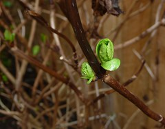 Hydrangea bud (Martellotower) Tags: hydrangea bud spring flower garden flickr friday early signs