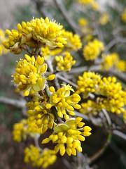 Dereń jadalny (nesihonsu) Tags: dereńjadalny dereń dogwood edible yellow wrocław parkszczytnicki cornusmas cornaceae europeancornel