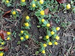 Auf der Suche nach dem Frühling (Schockwellenreiter) Tags: photogabi frühling pflanzen blüten winterlinge gelb