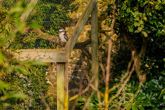 Abbotsbury Subtropical Gardens 53 (Matt_Rayner) Tags: abbotsbury subtropical gardens kookaburra