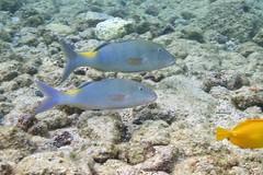 blue goatfish: Parupeneus cyclostomus (kris.bruland) Tags: bluegoatfishparupeneuscyclostomus mullidae parupeneuscyclostomus kahaluubeachpark bluegoatfish goatfish goldsaddlegoatfish yellowsaddlegoatfish moanoukaliulua kailuakona kona northkona keahou westhawaii hawaiicounty bigisland coral hawaii hawaiian creature reef pacific ocean scuba sea snorkel underwater snorkeling tropical dive diver diving ecology ecosystem environment environmental fish krisbruland ichthyology ichthyologist island islands marine nature organism outdoor saltwater science undersea vertebrate water zoology life sandwich animal aquatic biology