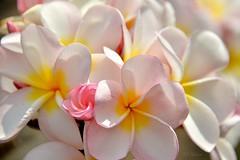 Spring (Pink Hibiscus) Tags: spring plumeria frangipani hawaii nikon d800 fx copyrighted allrightsreserved 2017 pinkhibiscus