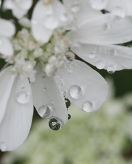 (copa.ore) Tags: white flower dew   eosm