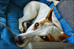 CHILLIN' - LONG WEEKEND STYLE (Karen Cookson) Tags: jrt jackrussellterrier mydogjack sonyrx100