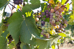 Colorful Grapes Growing on Grapevine (JPLPhotographyPDX) Tags: red sunlight green closeup fruit leaf vineyard colorful noir wine background champagne winery foliage grapes backlit agriculture pinot winemaking chardonnay cabernet sauvignon