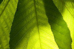 Green leaves (DavidAndersson) Tags: sunlight tree green nature leaves leaf spring close sweden chestnut veins vnersborg tamron18200f3563 kastanjetrd