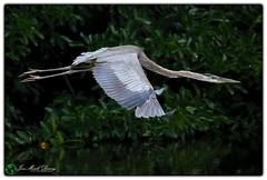 Fully flighted (QuakerVille) Tags: usa bird heron beautiful florida wildlife wetlands blueheron greatblueheron delray wetland boyntonbeach bigbluebird gbh wakodahatchee greencay canon5dmarkiii jonmarkdavey floridajonmarkdavey