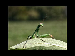 Nature (Basingstoke Hugh) Tags: canada green nature canon bug insect prayingmantis